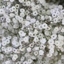 baby s breath flower