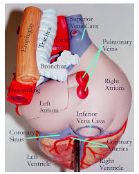 Gross Anatomy Of The Human Heart Heart Gross Anatomy