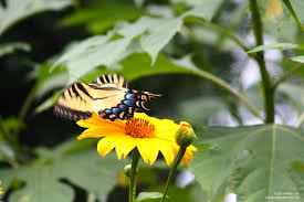 florida native butterfly plants florida u0027s november sunflowers and butterflies phillip u0027s natural