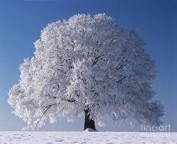 linden tree in winter photograph by hermann eisenbeiss