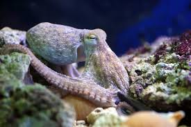 an aquarium is looking for puzzles for its clever octopus mental