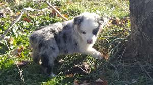 mini australian shepherd 7 weeks 7 weeks old u2013 very cute and fun stonger miniature and standard