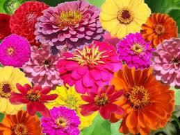 Zinnia Flower Zin Master Zinnia Flower Seed Mix