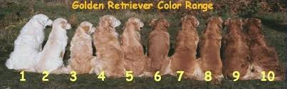 Golden Color Shades Golden Retrievers