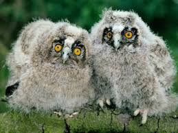 Owl Lovers by 155 Best Bubo Images On Pinterest Drawings Animals And Owl Art