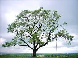 kalpavriksha the sunset point tree at iim indore flickr