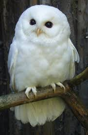 best 25 white owls ideas on snowy owl owls and