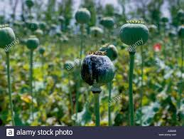 Opium Opium Poppy Harvest U0027papaver Somniferum U0027 Growing In Abundance In