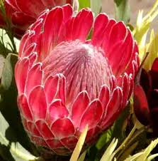 Protea Flower Protea Red Baron Californiaprotea