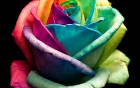 colorful roses colorful pictures