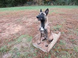 belgian sheepdog for sale in texas north alabama belgian malinois home facebook