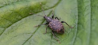 Garden Pests Identification - vine weevil pest identification for vegetable gardens