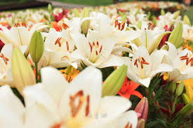 Lilies Flowers Dance With Lily Flowers U2014 U2014gochengdu