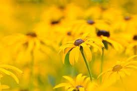 Flowers Information - rudbeckia fulgida black eyed susan