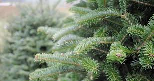 real trees for sale near me fishwolfeboro