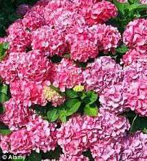 flowers uk highdrangea thieves hortensia stealing ornamental