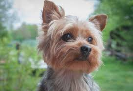 tea cup yorkie hair cuts five mind numbing facts about puppy cut yorkie puppy cut