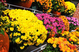 how to fall best colorful annuals to plant in the fall