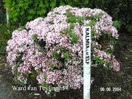 kalmia latifolia picture and description of kalmia latifolia u0027elf u0027
