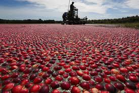 2016 cranberry harvest projected to be slightly less because of