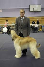 afghan hound judging list club news u0026 highlights western afghan hound club