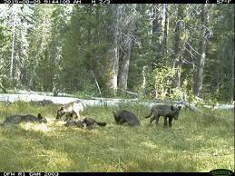 another wolf enters california amid tension over comeback sfgate