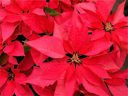 twelve christmas or holiday plants poisonous and safe dengarden