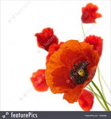 floral design decoration flowers poppies border picture