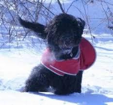 affenpinscher breeders canada goldendoodle puppies toronto ontario canada breeder of