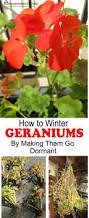 how to grow hydrangeas from cuttings recipe hydrangea