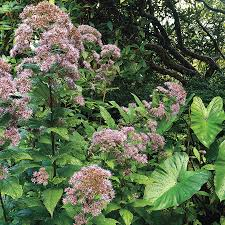 native plant seeds for sale joe pye weed seeds