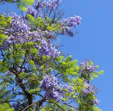 tree with purple flowers see photos of jacaranda trees in glorious bloom along