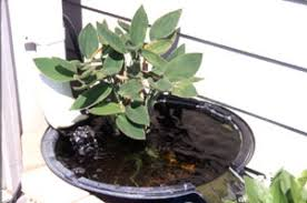 water gardening university of illinois extension