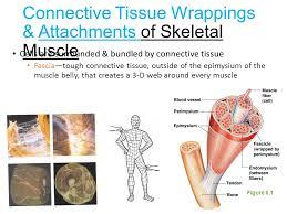 skeletal muscle functions ppt video online download