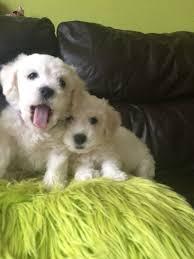 bichon frise fluffy bichon frise little puffy fluffy lovely puppies greenford