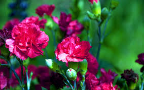 Purple Carnations Purple Carnations Flowers Hd Wallpaper 1618 Wallpaper Themes