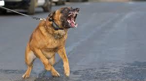 belgian shepherd navy seals malinois dogs extreme training youtube