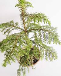 christmas plant christmas tree plant indoor plants edible plants plants by purpose