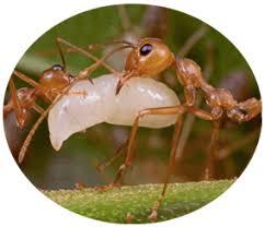 how to get rid of weaver ants in your garden