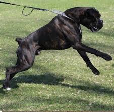 boxer dog european diesel clara puppies u2013 j u0026s boxers champion european euro