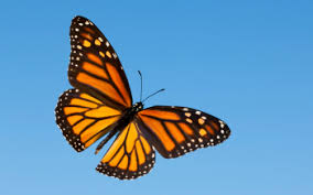 10 monarch butterfly hd wallpapers background images wallpaper
