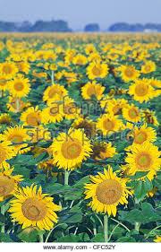 sunflower close up canada manitoba stock photos u0026 sunflower close