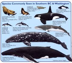washington travel wiki images Species of marine mammals commonly seen in southern bc jpg