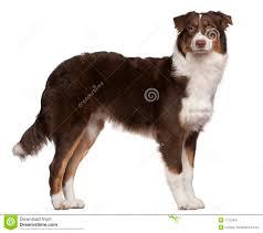 t shirt australian shepherd australian shepherd dog 7 months old standing stock image