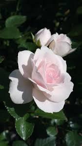 best 25 floribunda roses ideas on pinterest beautiful rose