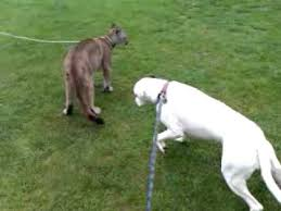 boxer dog youtube boxer dog vs puma youtube