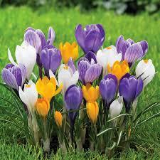 crocus bulbs for sale buy flower bulbs in bulk save