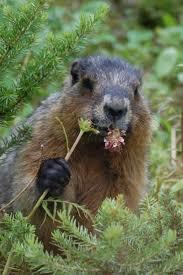 78 love groundhogs images ground hog