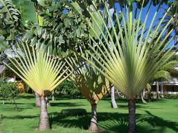 tropical trees pics4learning