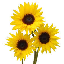 sunflower pictures sunflowers